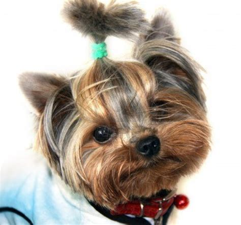 yorkies dogs yorkie dogs pictures to pin on pinsdaddy