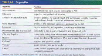 Cell organelles and their functions chart