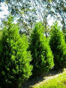 Shade Loving Flowering Shrubs - evergreen privacy trees for sale the tree center