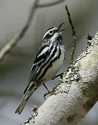 bird black and white striped head