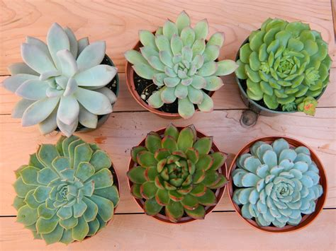 succulents plants succulent plant collection 6 succulent rosette by tobieanne