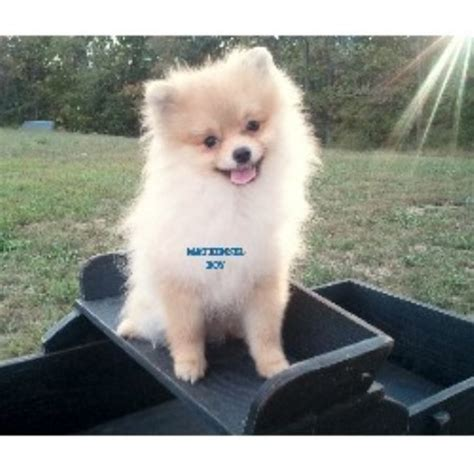 pomeranian breeders va m t kennel pomeranian breeder in winchester virginia