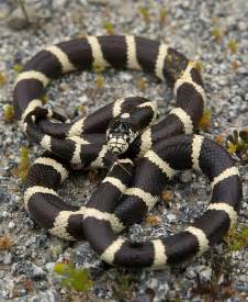 king snake colors snake patterns and colors page 2 reptile forums