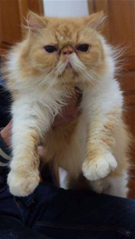 Sho Khusus Kucing Anggora cara membedakan kucing anggora dan binatang