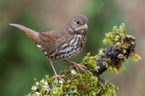 fox sparrow audubon field guide