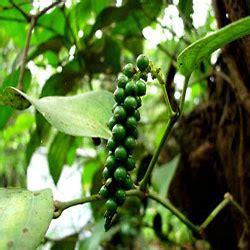 Obat Herbal Angkung lada piper nigrum mahkota herbal