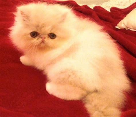 gatti persiani bianchi gatti bianchi razze e carattere idee green