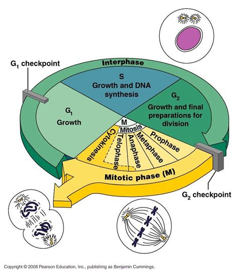 g1 phase diagram cell cycle diagrams diagram site