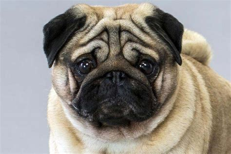 how to breed a pug pug breed information american kennel club