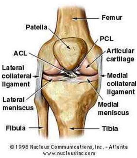 human knee diagram gavinbiol3500 the human knee ligaments
