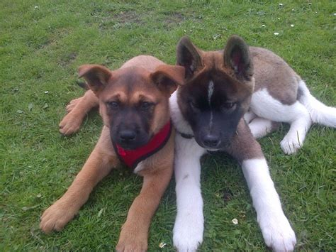 rottweiler akita mix akita and lab mix pic breeds picture