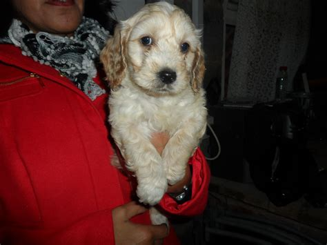 Beautiful Stunning Cocker Poodle Puppies For Sale