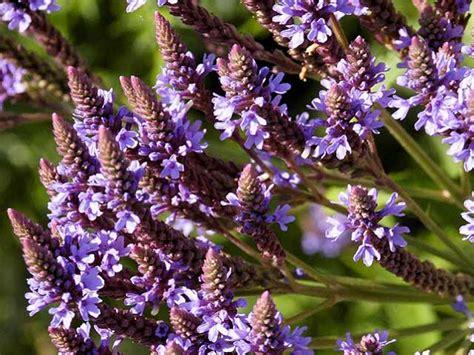 fiori di bach vervain troppe energie per convincere gli altri o te stesso
