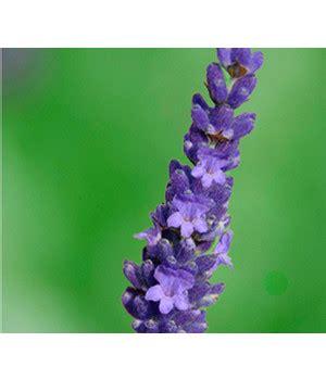 Lavendel Bestellen 499 by Prachtvolle Pflanzen Bestellen Dehner