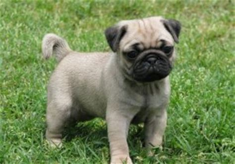 pug breeders in nj both fawn and black pug puppies available corpus christi tx free classifieds in usa