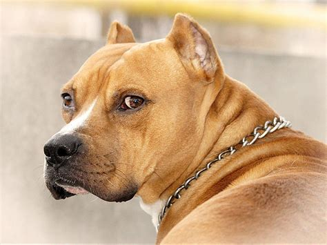 pictures of pitbull dogs american pitbull wallpapers wallpaper cave