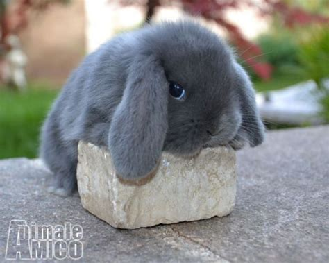 gabbia coniglio nano prezzo vendita ariete nano da privato a roditori e