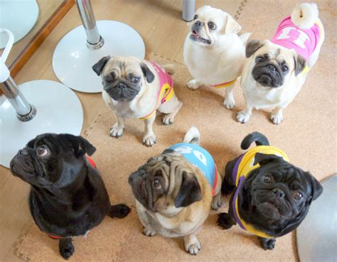 pug cafe japan need to visit japan s pug cafe seen in the city