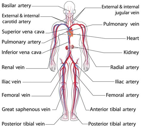 diagram of arteries anatomy and function of the common iliac artery with