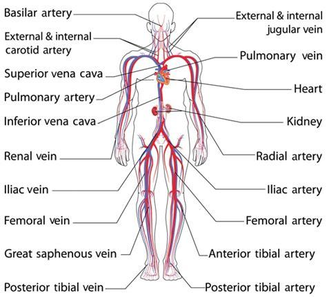 arteries diagram a diagram to label human arteries human anatomy chart