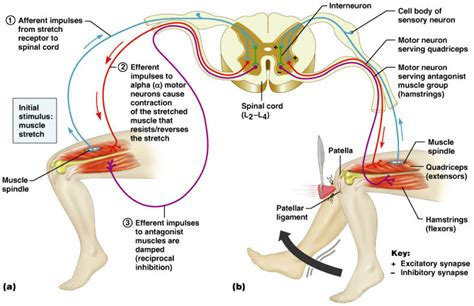 diagram of reflex diagram reflex arc diagram