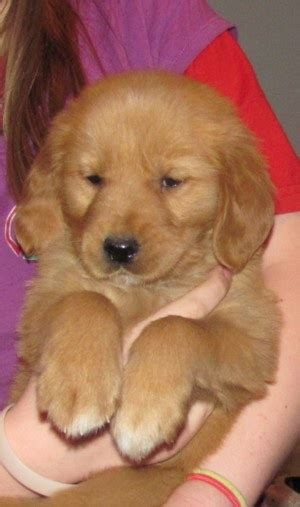 field golden retriever puppies field golden retriever puppy soooooooo stinkin