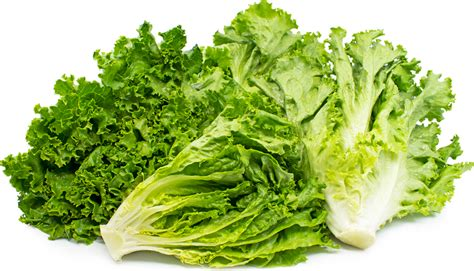 Lettuce General green leaf lettuce information recipes and facts