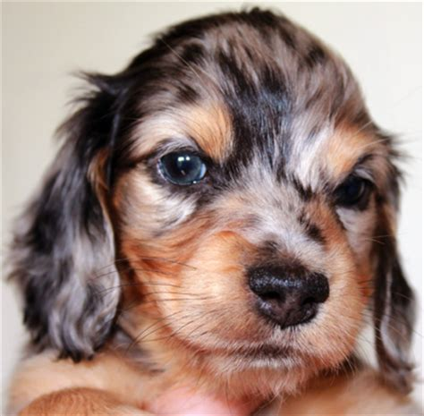 haired dapple dachshund puppies for sale miniature haired dachshund puppies for sale fenellafleur dachshunds