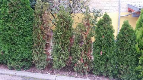 Smaragd Thujen Werden Braun 6546 smaragd thujen werden braun smaragd thujen werden tlw