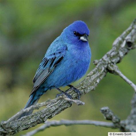 a very blue bird bird things pinterest