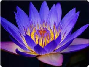 Lotus Bleu Qcweed Lotus Bleu Nymphaea Caerulea Au Qu 233 Bec Canada