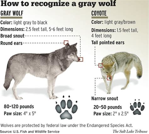 appalachian prey books facts gray wolf facts 19 facts about the gray wolf