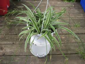 learn about the care of spider plants