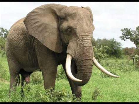 sonido de elefantes sonidos de animales youtube