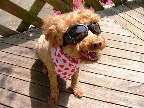 laughing puppy file laughing with googles jpg wikimedia commons