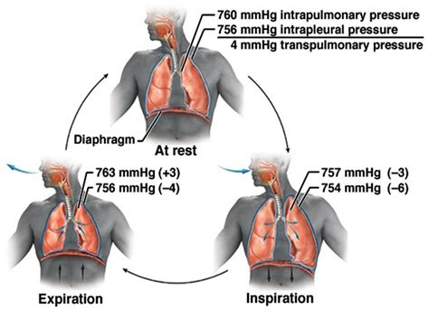 diagram inspiration respiratory system human anatomy 220 with henry at