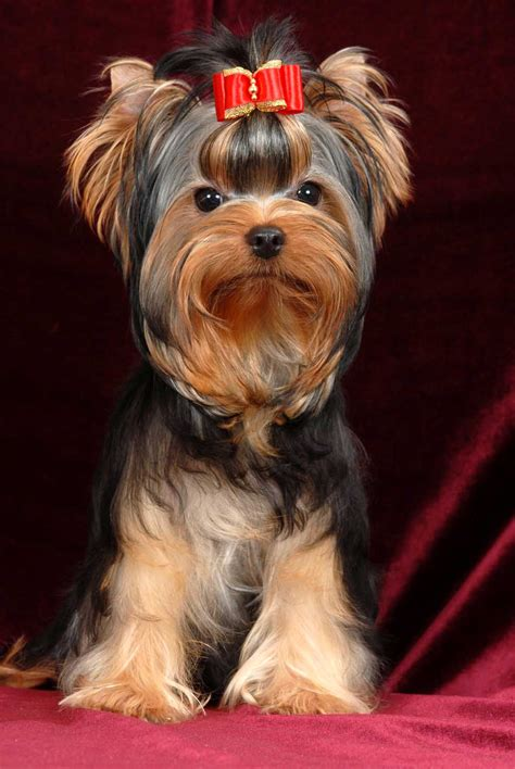 yorkie puppy shoo 4 kipper free images the top 5 best blogs on relaxing destination the
