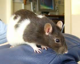 ancient origins of pet rats