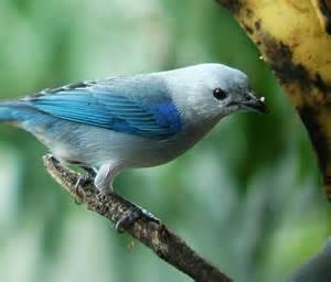 Most Common Backyard Birds - costa rica feeder birds