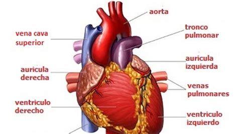 imagenes reales corazon humano esquema de sistema cardio vascular humano