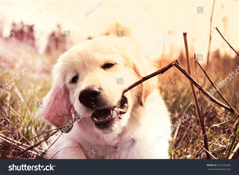 golden retriever puppy biting golden retriever puppy bites branch stock photo