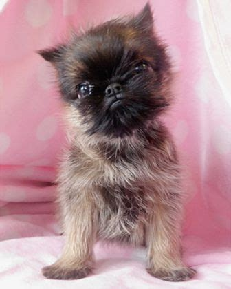 brussels griffon puppies for sale 93 best images about yorkie on yorkie puppies for sale yorkie and teacup