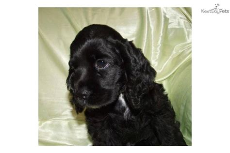 puppies for sale mobile al cocker spaniels for sale in alabama tubezzz photos