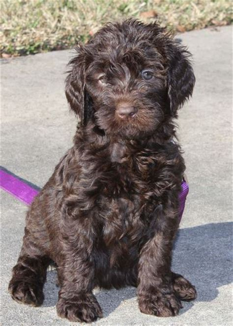 standard labradoodle puppies for sale tooloulou sweet chocolate standard australian labradoodleacadian labradoodles
