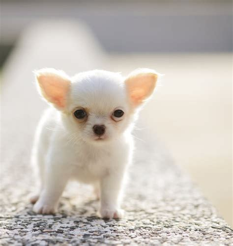 extremely puppies 35 chihuahua puppy pictures and images