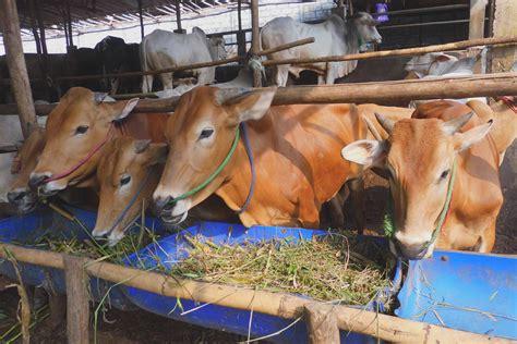 Bibit Sapi Madura safari ternak jual hewan qurban sapi kurban jakarta