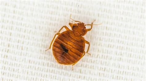 bed bugs nj pictures of bed bugs in new jersey bed bug bite pictures