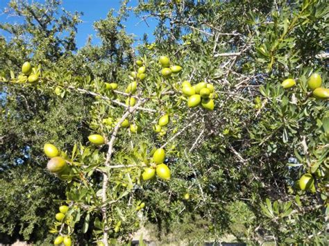 olio di argan alimentare come si produce l olio di argan