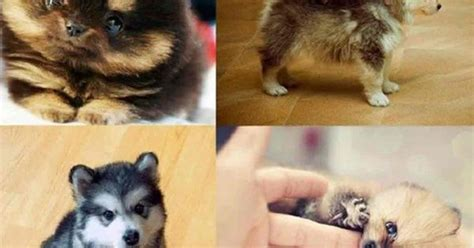 miniature pomeranian husky for sale pomeranian husky mix for sale animals pomeranian husky and husky mix