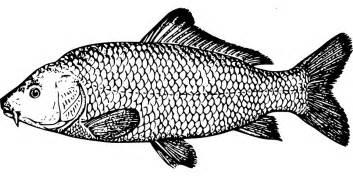Outline Of A Fish Scale by Kostenlose Vektorgrafik Fisch Karpfen Arten Flossen Kostenloses Bild Auf Pixabay 47998